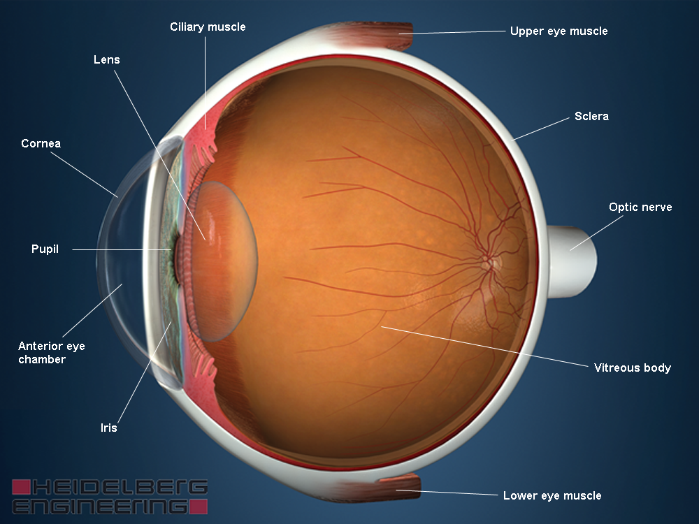 Anatomy and Function of your eye | SPECTRALIS Eyehealthcheck