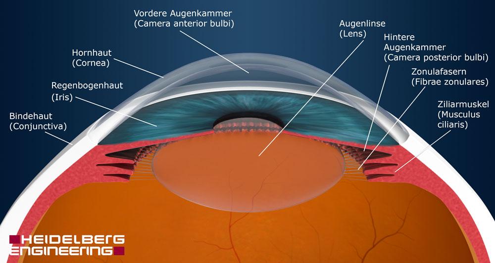 Vorderer Augenabschnitt