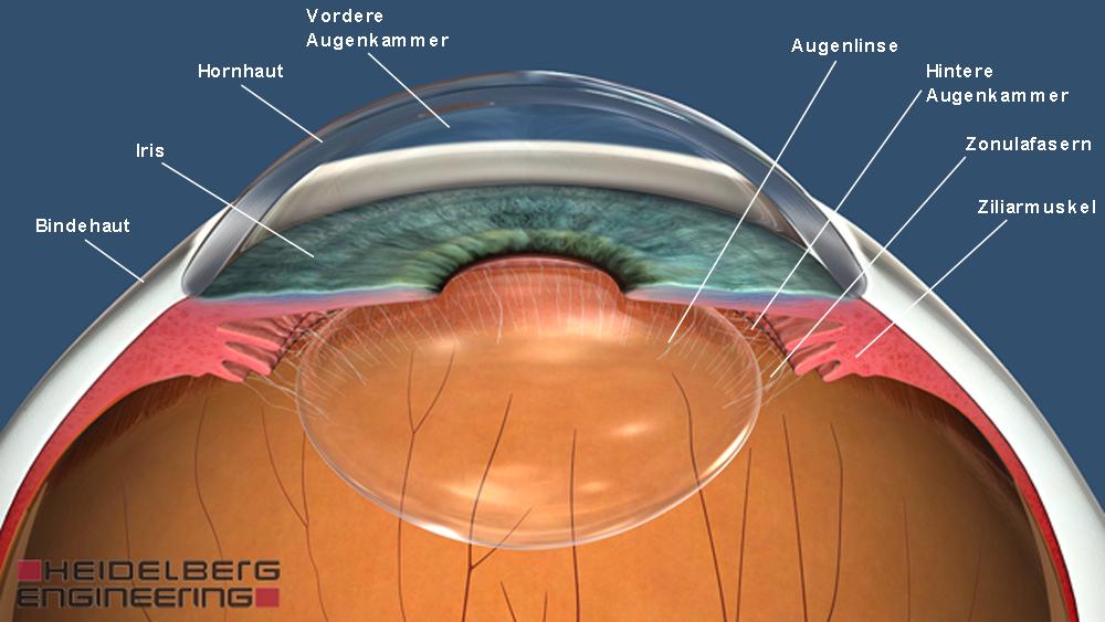 Vorderer Augenabschnitt - Hornhaut, Pupille, Iris | Augenwissen